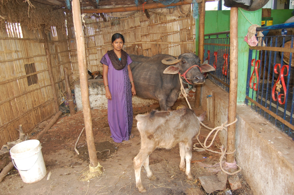 Cow and women